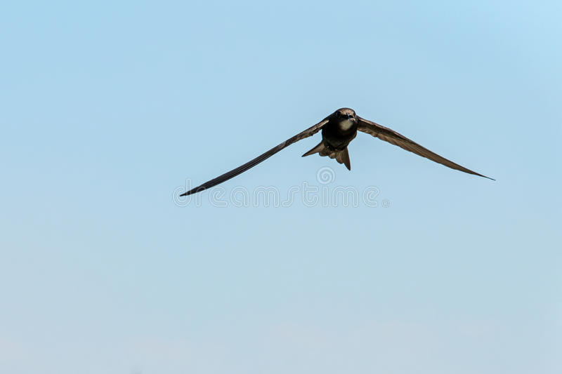 Bird flying. Swift Bird flying against a clear blue sky stock image