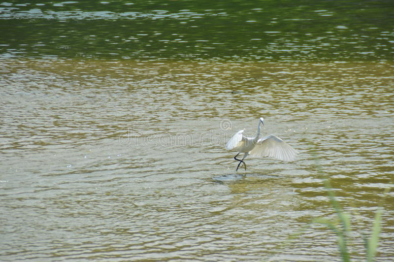 Bird flying on water royalty free stock images