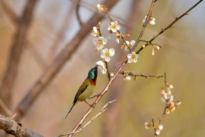Bird, Fork-tailed Sunbird royalty free stock photo