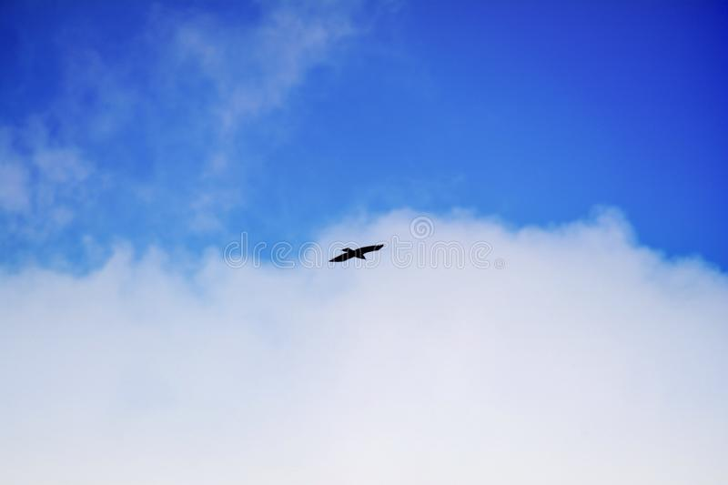 Bird in free flight. On blue sky royalty free stock photos