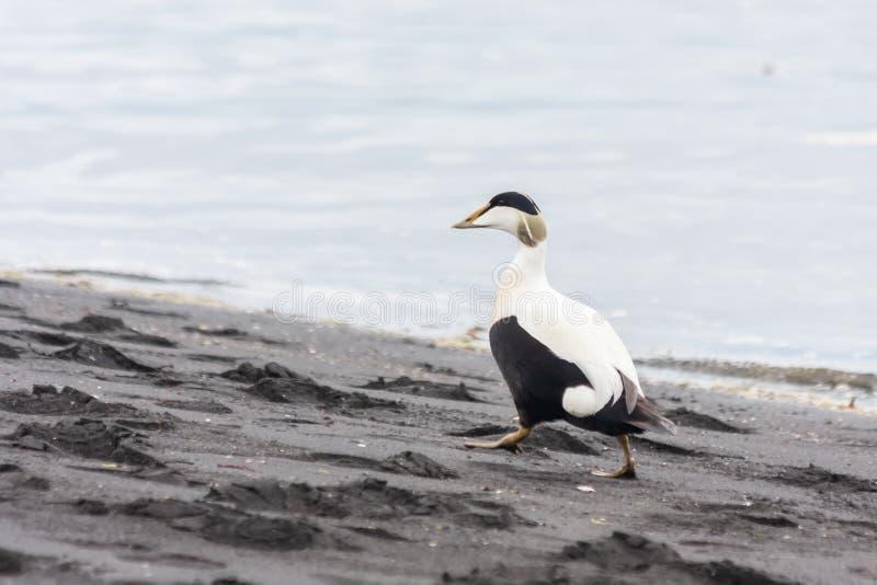 The bird goes along the coast. Common eider, Somateria mollissima, Iceland. stock image