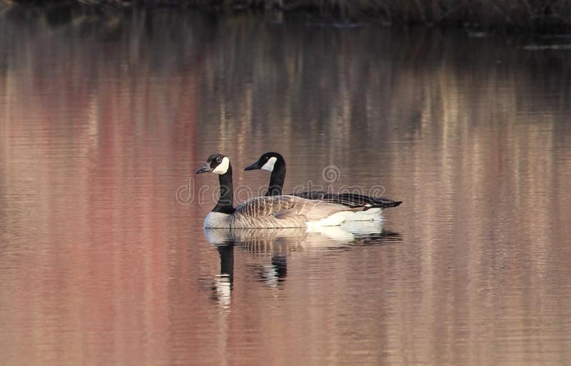 Mated pair of Canada Geese on pond stock images