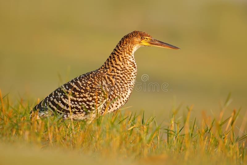 Bird in grass. Evening sun, Rufescent Tiger-Heron, Tigrisoma lineatum, motteled bird with evening back light, in the nature habita stock images