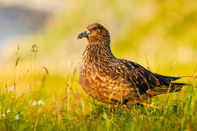 Bird in the grass habitat with evening light. Brown skua, Catharacta antarctica, water bird sitting in the autumn grass, Norway. stock photo