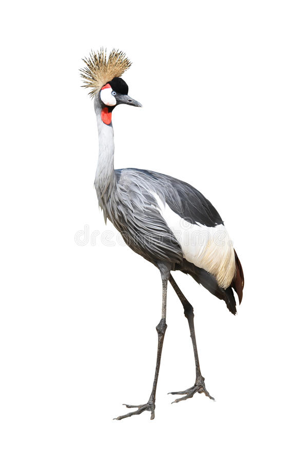 Bird gray crown crane stock photo