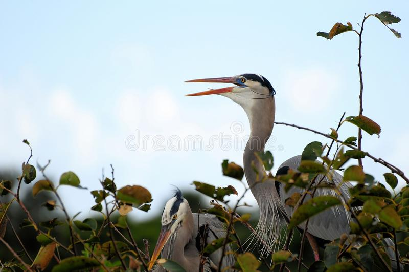 Download Bird: Great Blue Heron stock photo. Image of bird, nature - 23542466