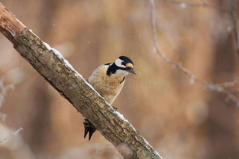 Bird - Great spotted woodpecker sitting on a branch covered with lichen in the winter forest on a blurry background. Bird - Great spotted woodpecker Dendrocopos royalty free stock photo