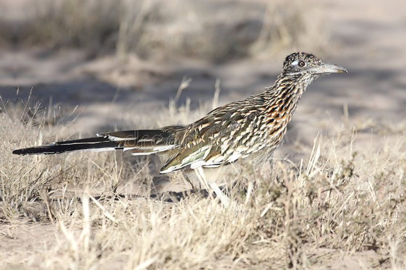 Bird - Greater Roadrunner stock photos