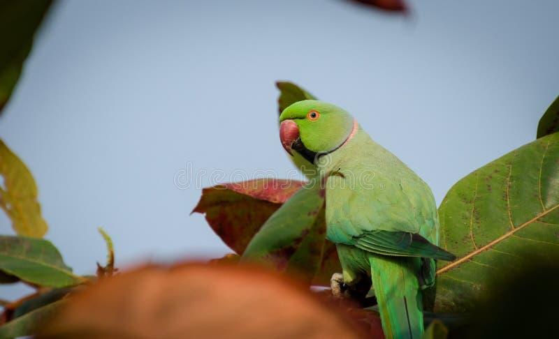 Bird, Green, Parakeet, Parrot royalty free stock photography
