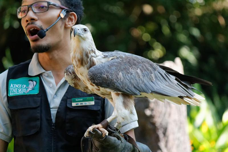 Bird Handler with white-tailed sea eagle at Jurong Bird Park royalty free stock photos