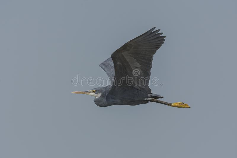 Western Reef Heron Egretta gularis or Western Reef Egret Flying. stock images