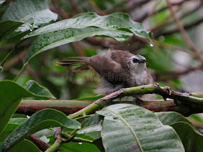 Bird Having Fun In The Rain. Bird, Yellow-vented Bulbul, cooling off and having some fun in the afternoon tropical rain in Malaysia