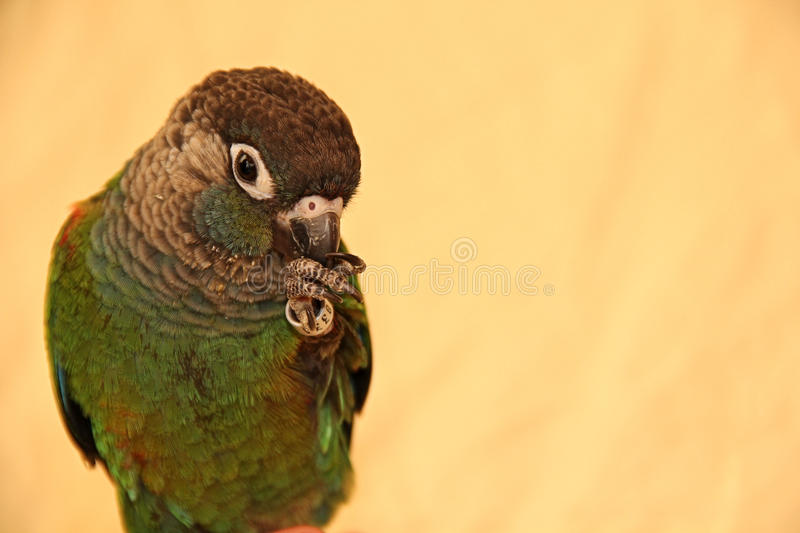 Bird having a snack. This is my brothers bird in a rare moment of not biting anyone. He is a pearly conure, and he is gorgeous stock photos