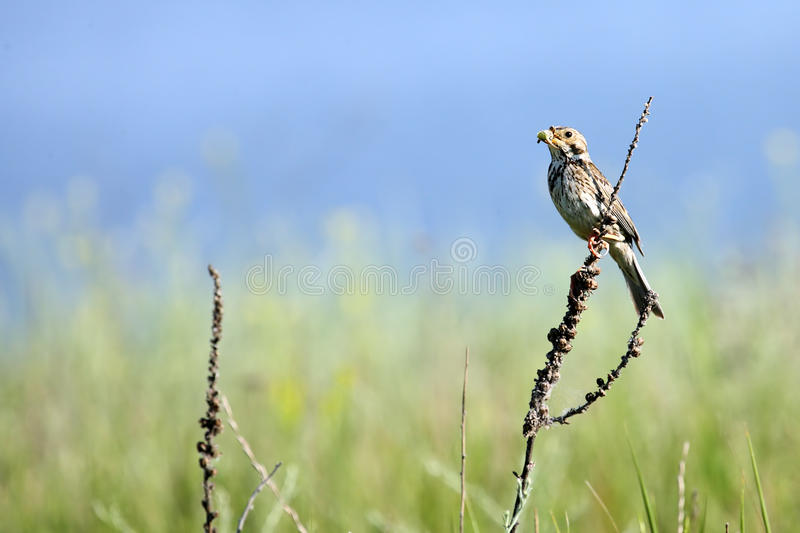 Download A Bird on a herb stock photo. Image of singing, skyline - 9806130