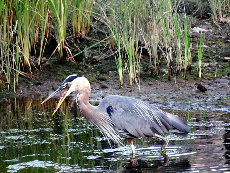 Bird heron open mouth fish stock photography