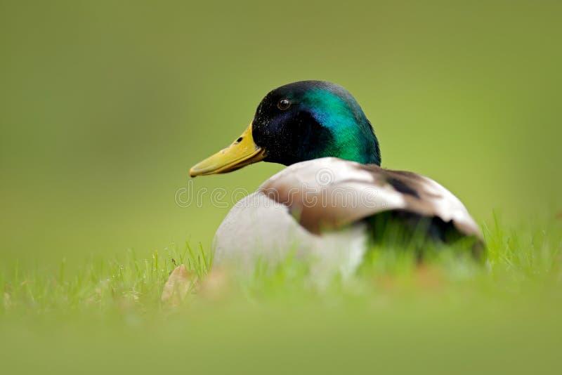 Bird hidden in the grass. Water bird Mallard, Anas platyrhynchos, with reflection in the water. Duck in the green surface. Still w. Bird hidden in the grass stock photography