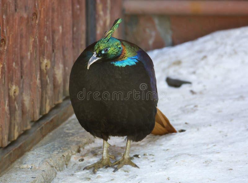 Bird the Himalayan monal or pheasant. royalty free stock image