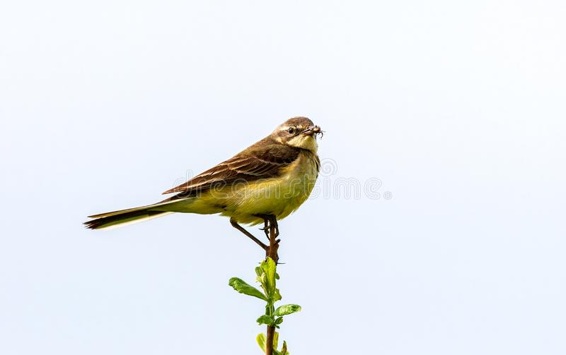 The bird holds an insect in its beak. The bird sits on a twig and holds an insect in its beak. Wildlife concept. Russia Moscow region royalty free stock images