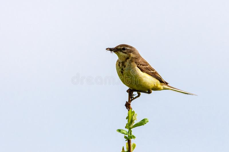The bird holds an insect in its beak. The bird sits on a twig and holds an insect in its beak. Wildlife concept. Russia Moscow region royalty free stock photo