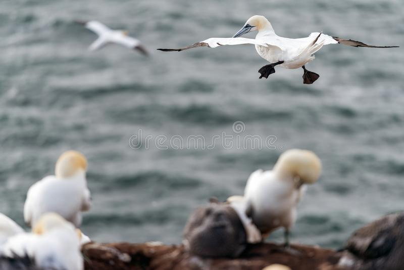 Northern gannets, Helgoland, Germany stock photo