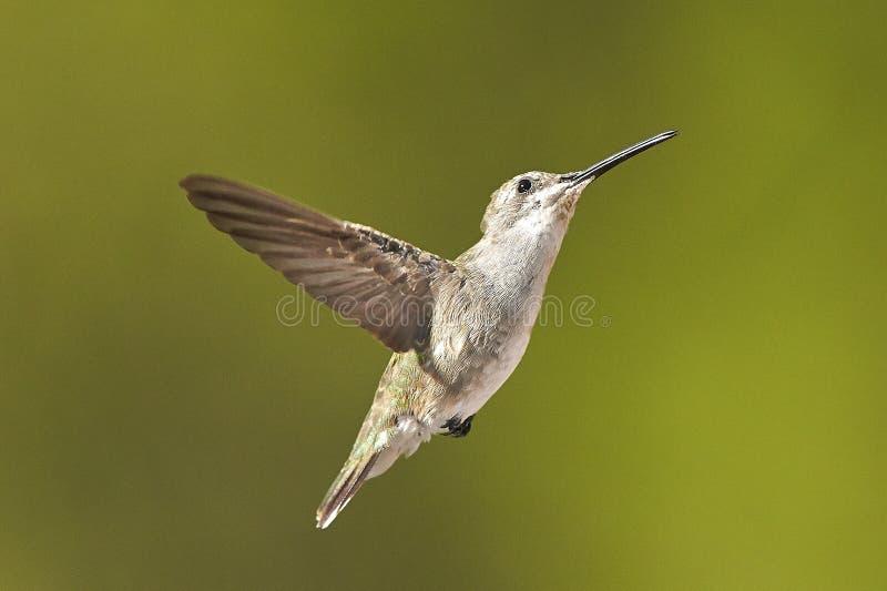 Download Bird stock image. Image of wildlife, nature, bird, inflight - 43187995