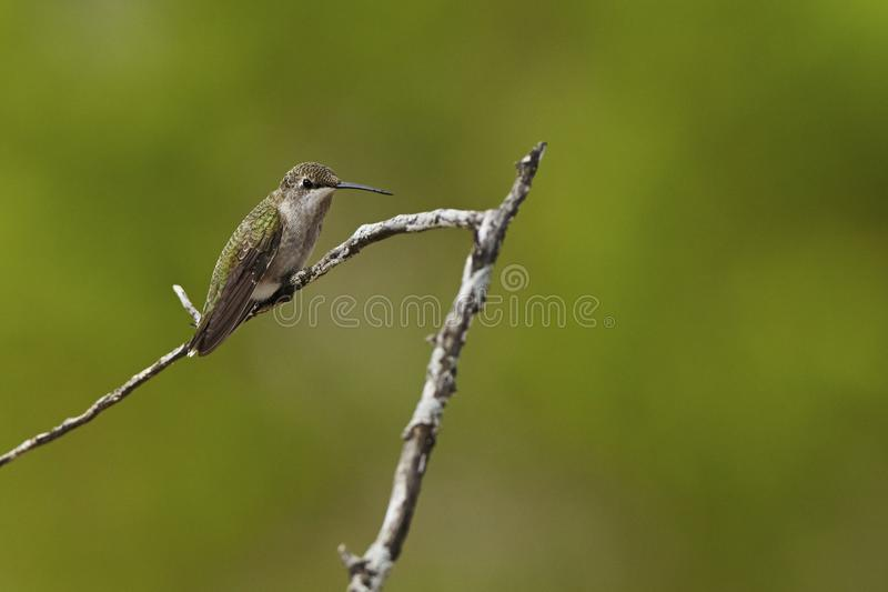 Download Bird stock image. Image of hummingbird, nature, resting - 43187997