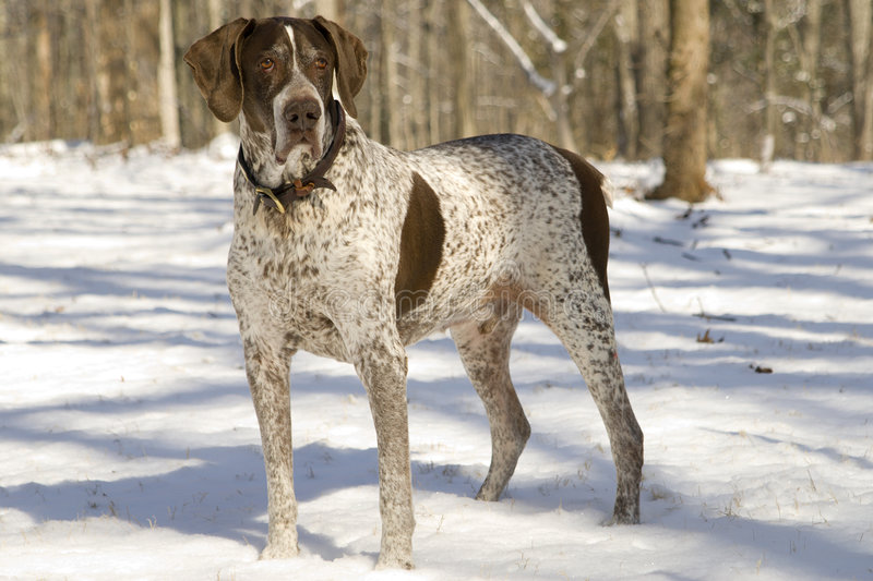 Bird Hunter. German Shorthair Pointer used for hunting upland game royalty free stock image