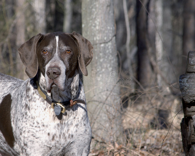 Bird Hunter II. German Shorthair Pointer, hunter of upland game birds stock photos