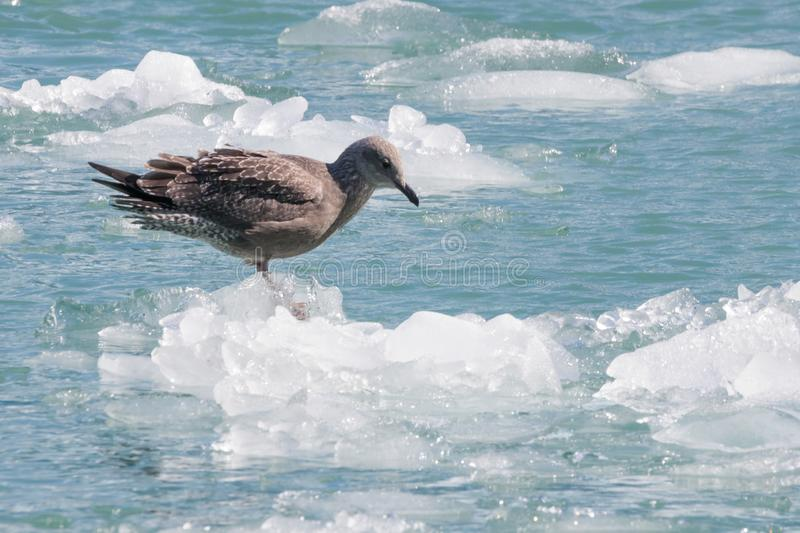 Bird on iceberg from Sawyer glacier in Tracy Arm fjord stock photo