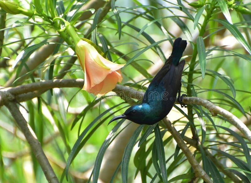 Purple sunbird (male) royalty free stock photography