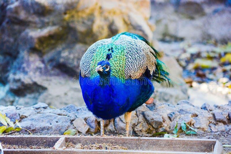 Bird Indian peacock. royalty free stock image