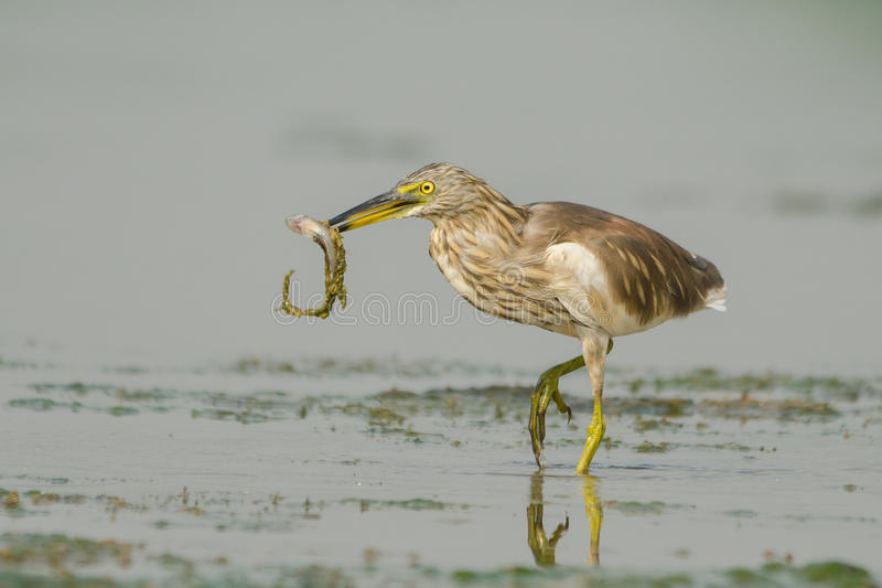 Bird Indian pond heron. They are very common in India, and are usually solitary foragers but numbers of them may sometimes feed in close proximity during the dry royalty free stock photography