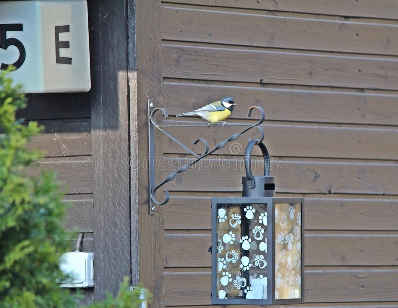 Bird infront of house stay at light. Yellow bird and green wings beautiful bird stock photography
