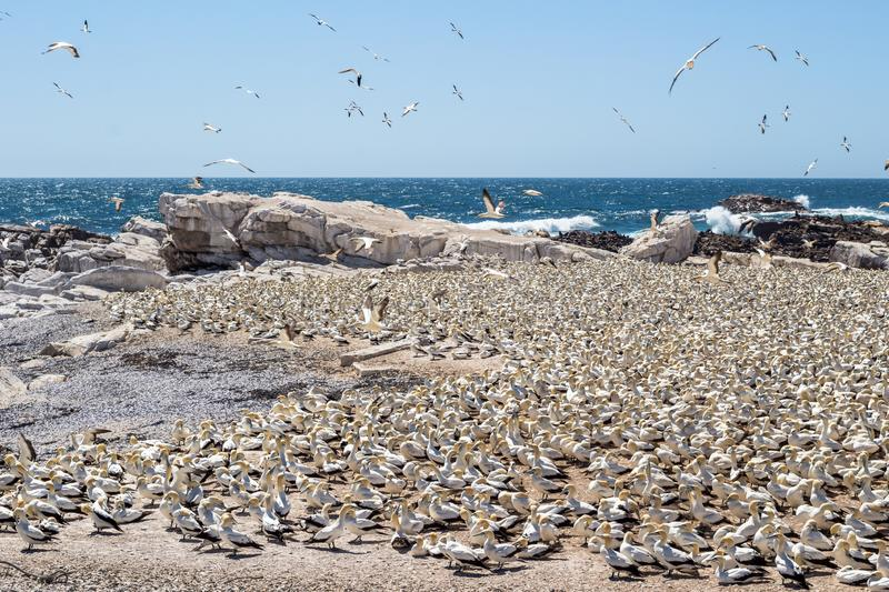 Bird Island Nature Reserve in Lambert`s Bay West Coast South Africa with flock of birds on the rocky beach next to ocean. Bird Island Nature Reserve in Lambert`s royalty free stock photos