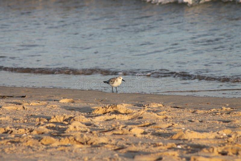 Bird, Island Tavira Portugal royalty free stock image