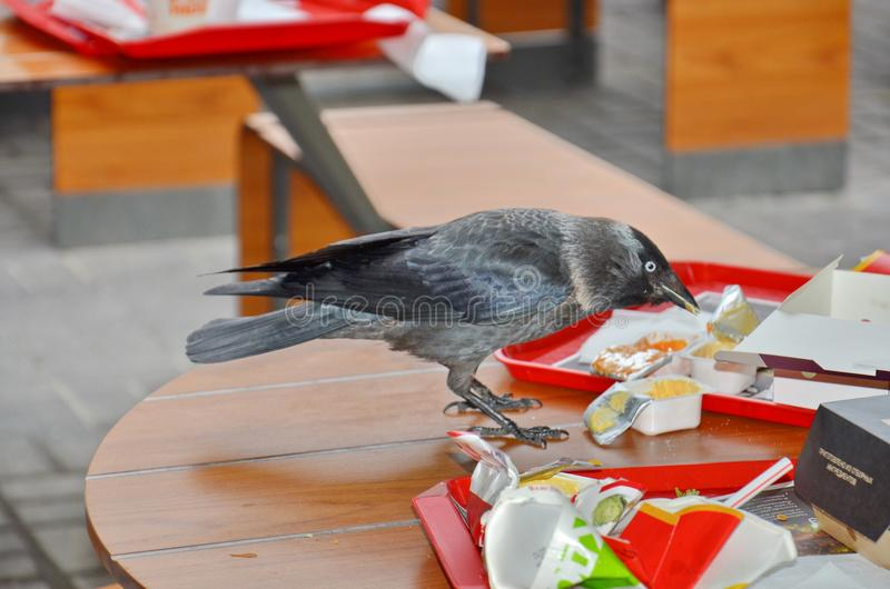 Bird jackdaw. Jackdaw steals food on the table in a summer cafe stock photography