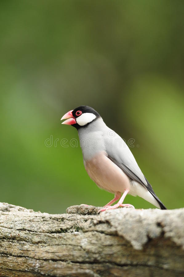 Bird --- java sparrow royalty free stock photo