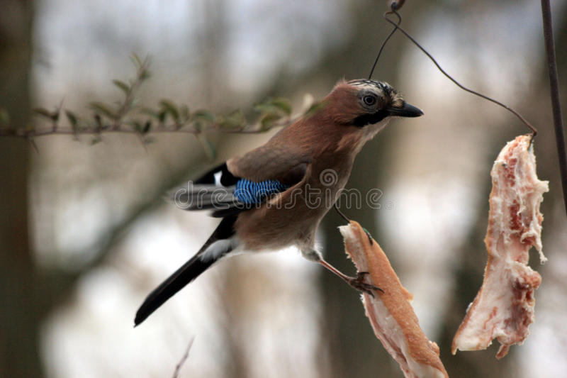 Bird jay. On a piece of bacon royalty free stock images
