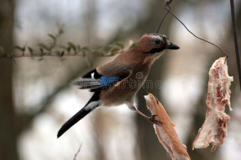 Bird jay royalty free stock images