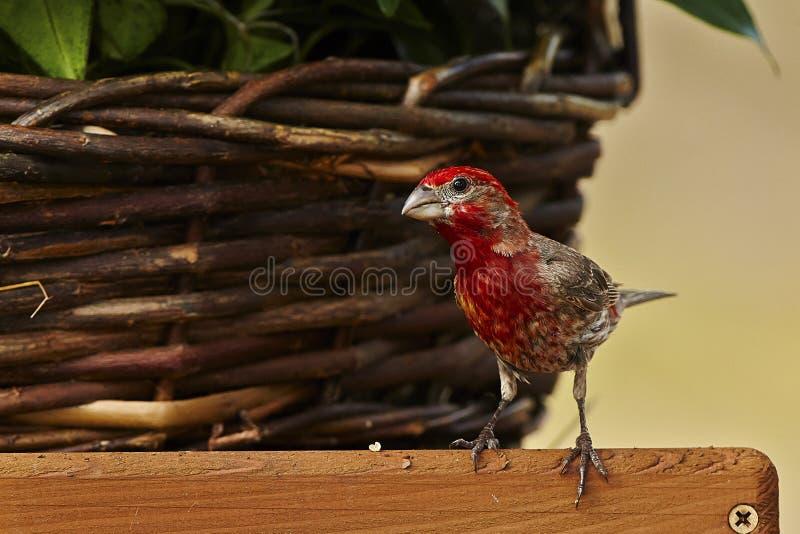 Bird. Juvenile red stock photography