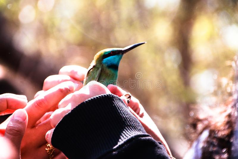 Beeeater bird holded in the hands. A bird kept in the hands of people before realese royalty free stock photo
