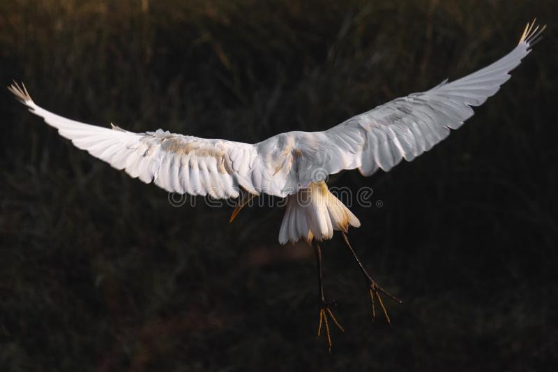 Bird Landing - Flight Mode. White, photography stock photo