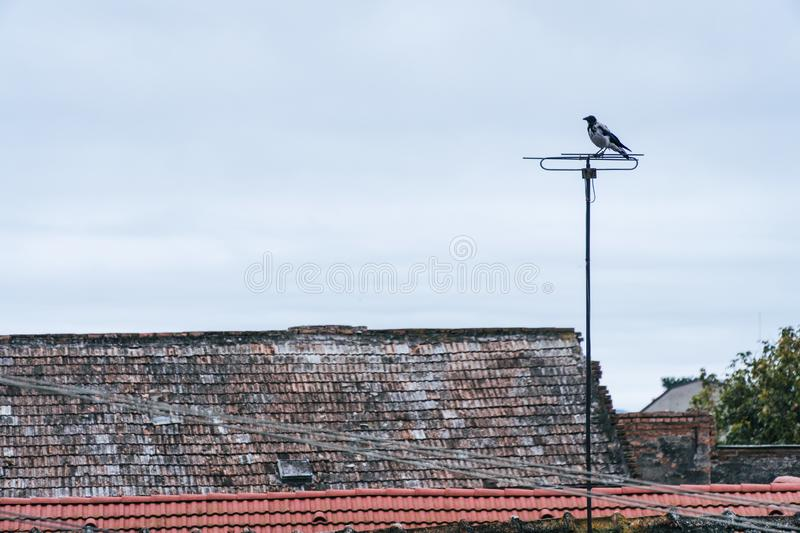 Bird landing on residential tv antenna. This kind of activity is typical in the afternoons where birds like to sit high above royalty free stock image