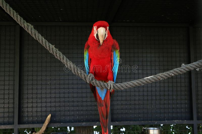 The bird is a large macaw parrot sitting on a rope. For design stock photography