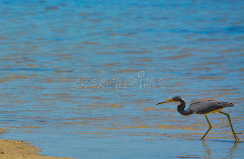 A Tricolored Heron (Egretta tricolor) at the Lemon Bay Aquatic Reserve in Cedar Point Environmental Park, Sarasota stock photography