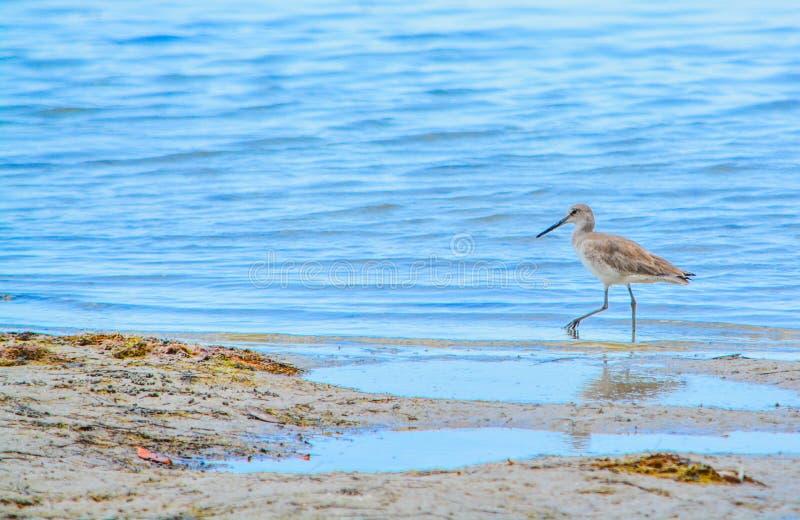 A Bird at the Lemon Bay Aquatic Reserve in Cedar Point Environmental Park, Sarasota County Florida. A bird feeding in tide pools at the Lemon Bay Aquatic Reserve royalty free stock photo