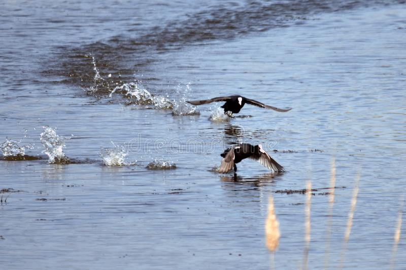 Race on the lake. The bird of the lichen moves opponents across the lake to the liking of their choice stock images