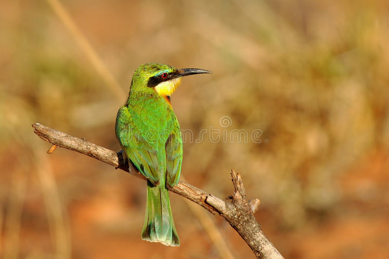 Bird little bee-eater. Photo of little bee-eater was taken in Kruger national park,South Africa stock image