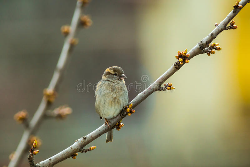 Bird. Little bird stay on my cherry tree royalty free stock photos