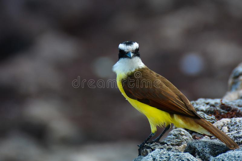A bird living in the seaside area of Mexico stock photography